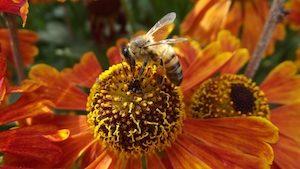 miel vegan abeille